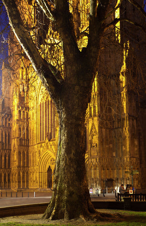 England, North Yorkshire, York City.  Grand tree with the equally grand York Minster Cathedral in the distance, with a street busker playing a piano at night.