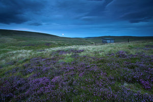 Scotland, Scottish Borders, English Border / Northumberland National Park. Looking across purple heather towards Lamb Hill and the Yearning Saddle Refuge Hut located on the Northumberland Cheviot Hills in England.