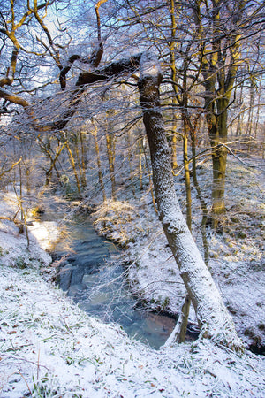England, Northumberland, Plessey Woods Country Park. A recent snowfall transforms the woodland of the Plessey Woods Country Park.