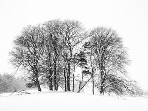England, Northumberland, Tynedale. Trees in a snow storm in rural Northumberland near Hexham.