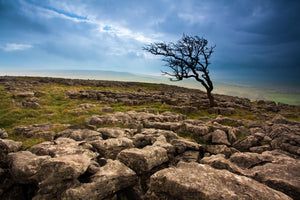 England, North Yorkshire, Twistleton Scar. Limestone pavement and Hawthorn Tree at Twistleton Scar in the Yorkshire Dales National Park.