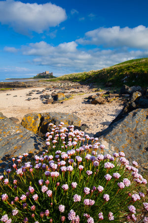 "Sea Thrift & Bamburgh Castle, Northumberland, 22""x18"" (58x48cm) Framed Photography Print"