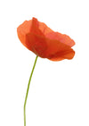 Corn Poppy A5 Greeting Card