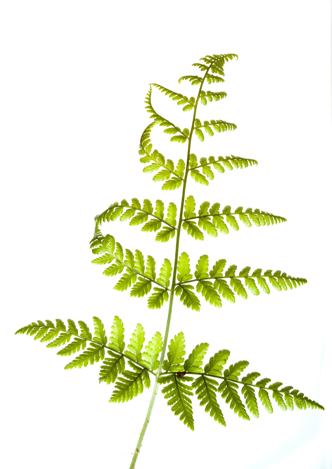 UK Native Fern A5 Greeting Card