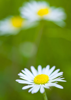Common Daisy A5 Greeting Card