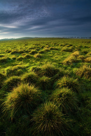 England, Tyne & Wear, Newcastle Upon Tyne. Tussock on the Town Moor, a large area of common land located within the city of Newcastle Upon Tyne.