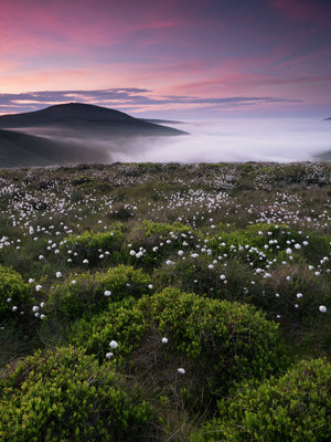 England, Northumberland, Northumberland National Park. A temperature (cloud) inversion in the College Valley viewed from a moorland plateau of wild cotton grass near the Cheviot looking towards The Schill in the Scottish Borders of Scotland.