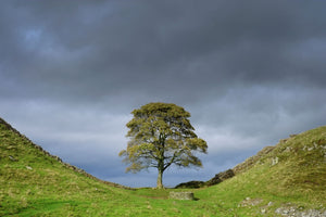 England, Northumberland, Sycamore Gap, Northumberland National Park. Sycamore Gap, a famous landmark along Hadrians Wall in the Hadrians Wall World Heritage Site.