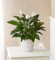 Peace Lily Plant $44.99-$99.99