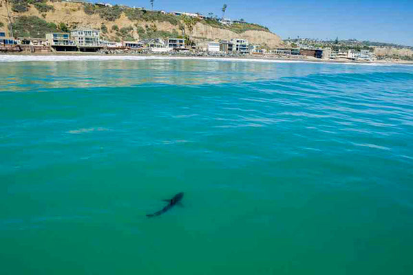 More Great White Sightings in SoCal