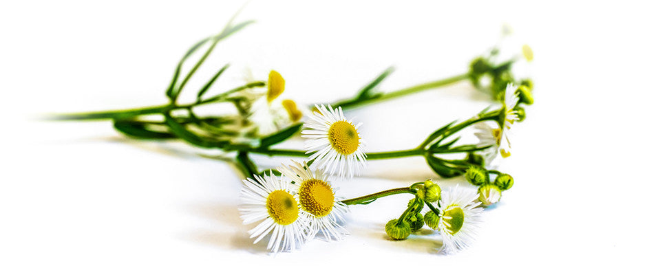 Pure and Natural | Chamomile | Lullaby