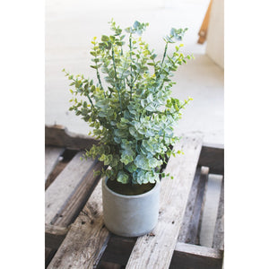Boxwood In Cement Pot