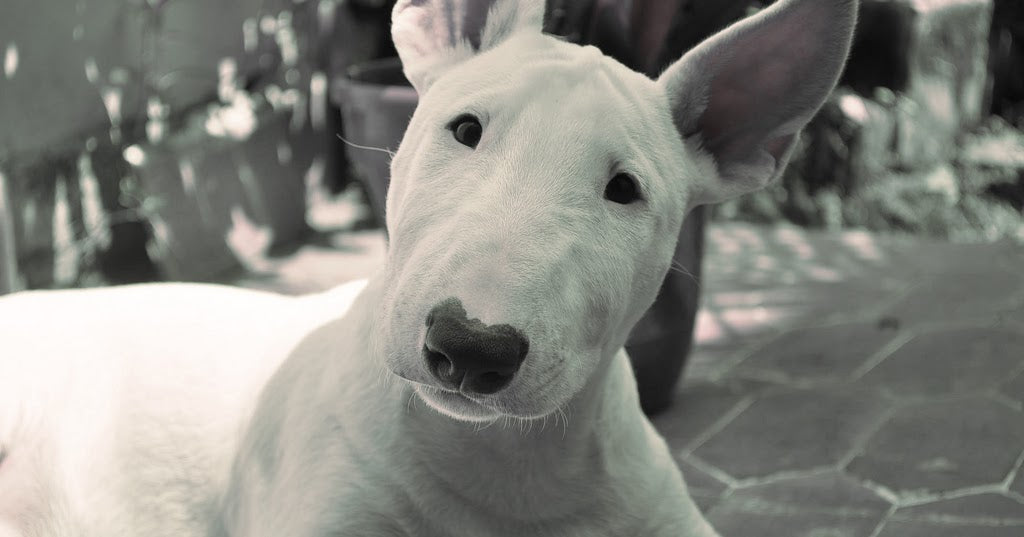 Cool Facts About Bull Terriers