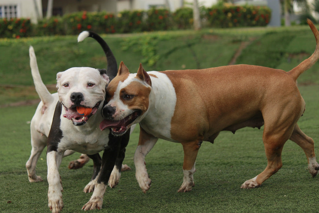 Things Every Pit Bull Owners Should Know