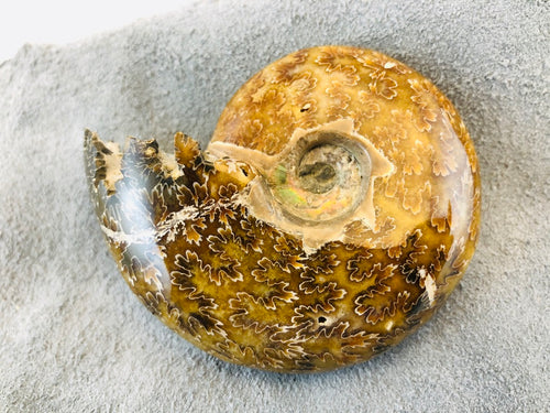 Whole Ammonite Fossil