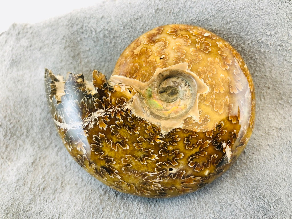 Whole Ammonite Fossil - 150 grams