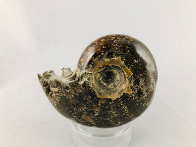 Whole Ammonite Fossil - 200 grams