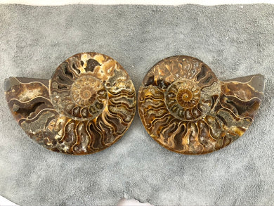 Sliced Ammonite Fossil - 270 grams