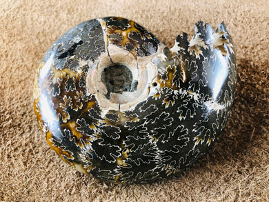 Whole Ammonite Fossil - 330 grams