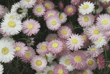 Pink and white everlasting flower seed