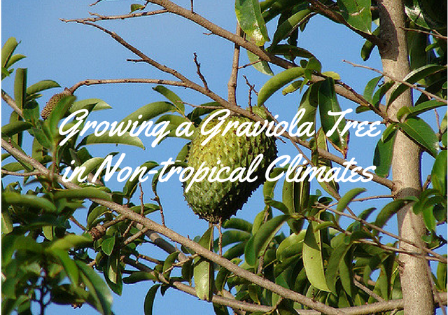 Growing a Graviola Tree in Non-tropical Climates