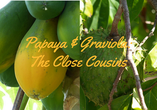 The Relationship between Papaya and Graviola