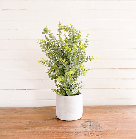Abundant Boxwood Bush in Cement Pot