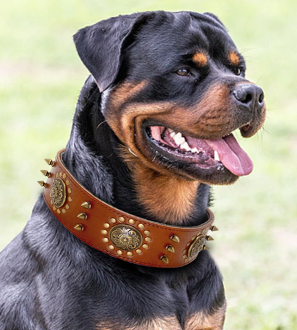 roman style brown leather studded rottweiler collar hand made and stitched from only the best bridle leather