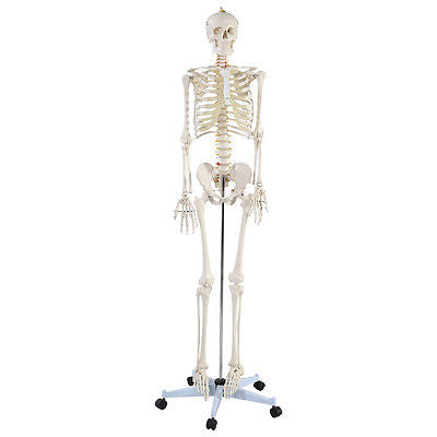 Life Size Human Anatomical Anatomy Skeleton Medical Model + Stand