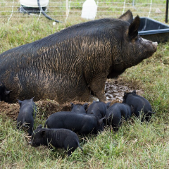 Guinea hog and piglets