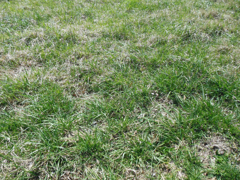 Meadow Fescue