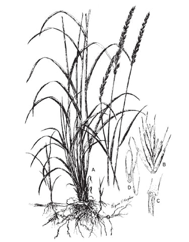 Quackgrass, sometimes called couchgrass. Agropyron repens is shown here (A); its spikelets (B); the ligule (C); and florets (D). Decay systems are at fault when this weed appears.