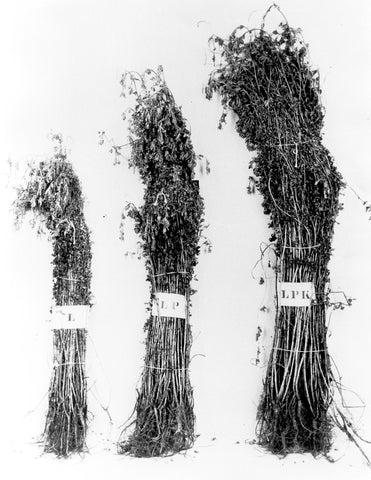 Fig. 1. — Relative yields of forage and differences in roots and stems of sweet clover varying in root-rot according to soil treatments.
