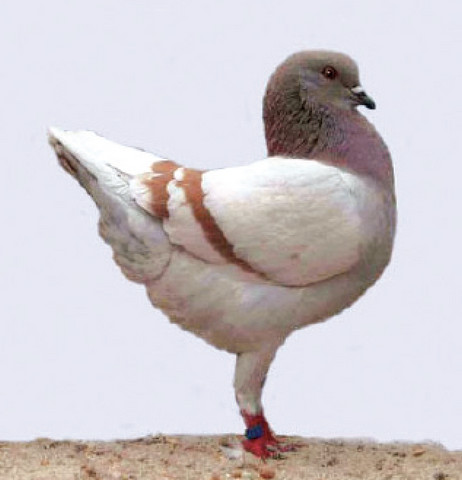 "A Modena Pigeon, a ""Fancy"" breed of pigeon."