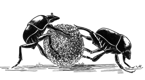 Sisyphus spinipes rolling dung, a CSIRO presentation redrawn. Named after the Greek myth of Sisyphus, who rolled a stone uphill only to lose control and see it plunge to the valley, the sentence being to roll it uphill again and again.