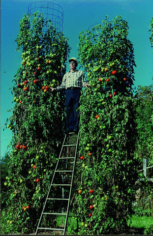Charles Wilber with his giant tomato plant