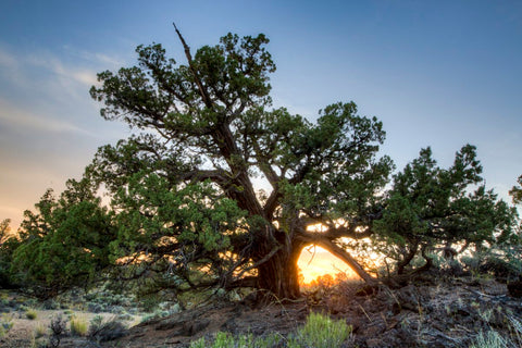 Juniper Tree Oregon