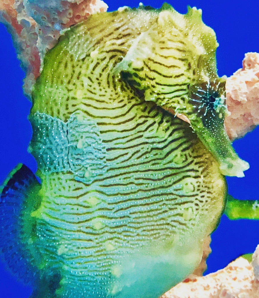 Understanding Gas Bubble Disease in Seahorses-How to Treat and Prevent