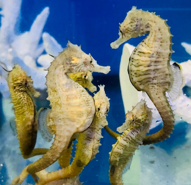 A New Seahorse Variety at our Farm-Northern H. erectus Seahorses