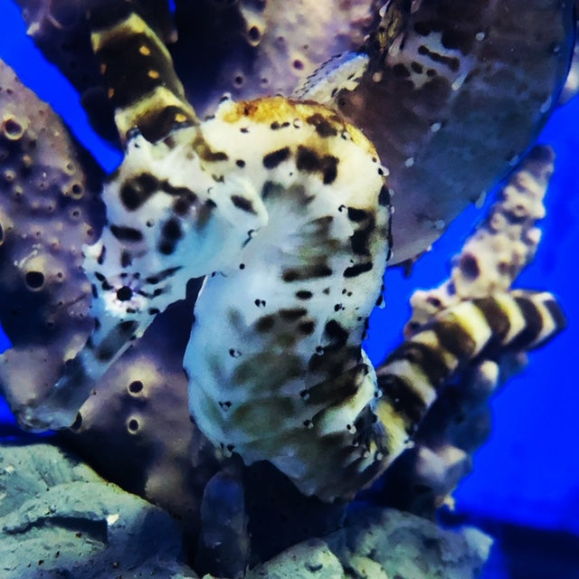 Tiger Tail Seahorses-Hippocampus comes Species Profile and Keeping them in the Home Aquarium
