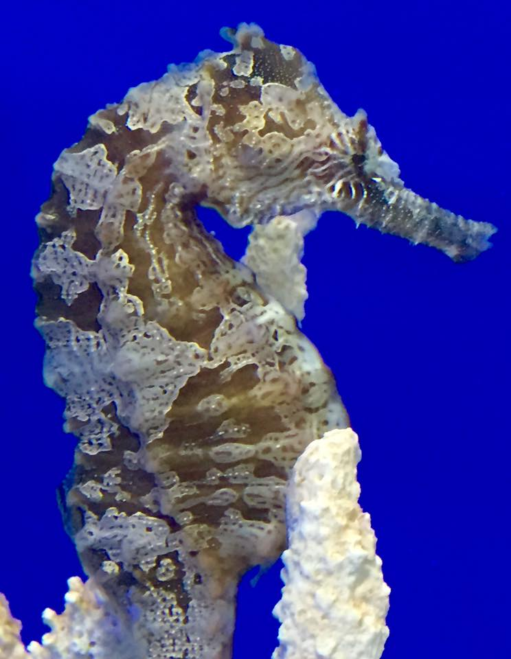 Temperature Range for Keeping Seahorses in the Home Aquarium