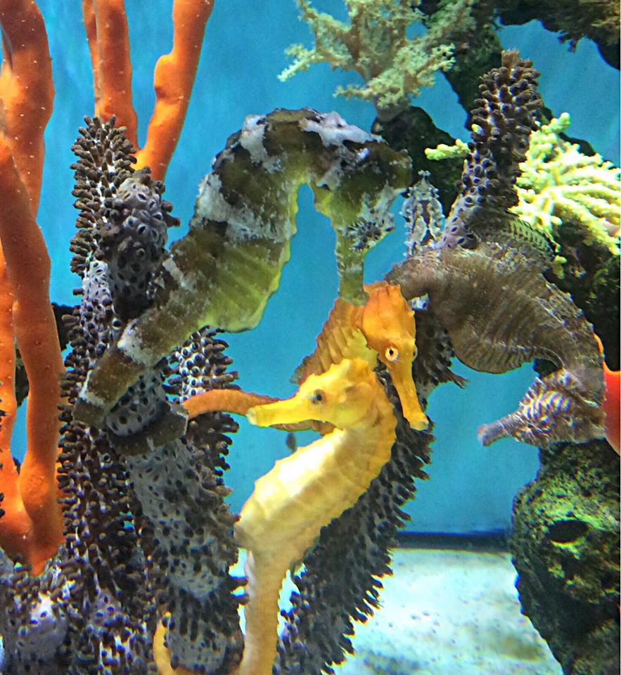 Tank Mates for Seahorses-Live Corals