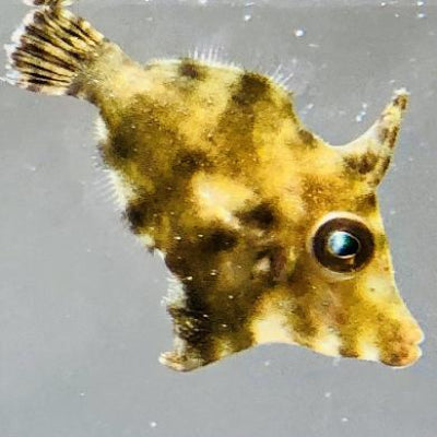 Biota Captive Bred-Matted Filefish