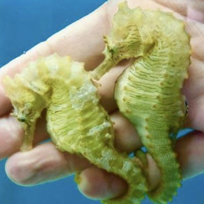 Captive Bred Saddled Erectus Seahorse Male/Female Pair