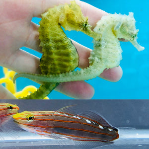 Saddled Erectus Seahorse Pair and Single Rainford's Goby