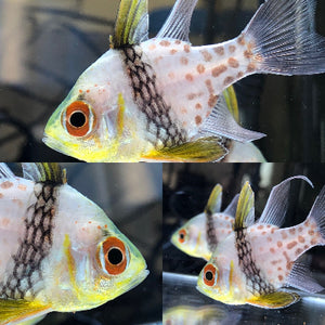 SAVVY SPECIAL-Trio of Captive Bred Pajama Cardinal Fish by Biota