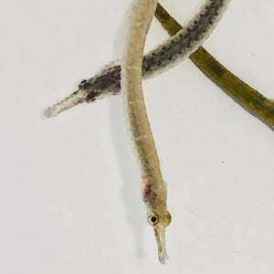 NEW Pipefish-Single-Limited Time