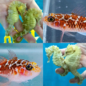 Captive Bred Pair of Dwarf White Spotted Gobies and Pair of Saddled Erectus Seahorses