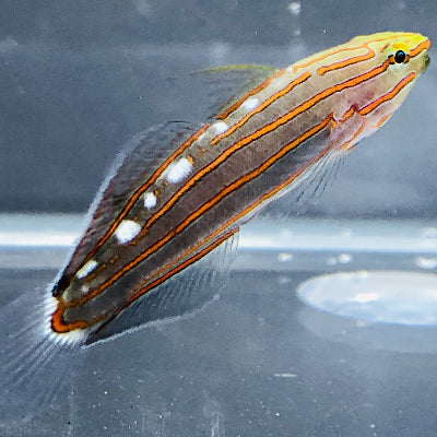 HOLIDAY SALE-Biota Captive Bred-Rainford's Goby