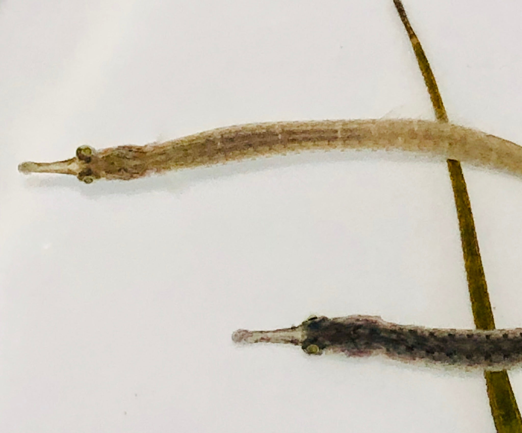 Aquarium Conditioned-Long Nose Pipefish